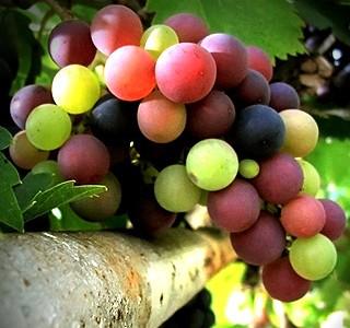 Grape Seed Extract от Myprotein подобрява сърдечно-съдовата дейност.