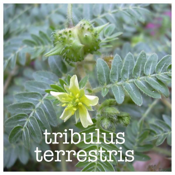 Tribulus Pro (95% Saponins), предложен на топ цена, засилва сексуалната активност и повдига либидото.