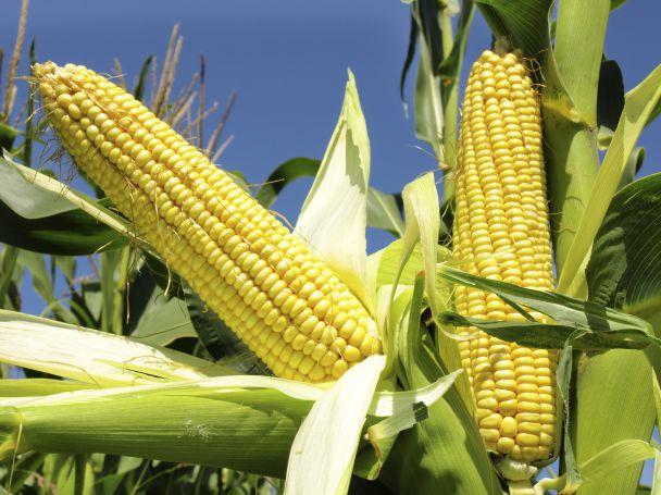 Now Foods Waxy Maize Starch съдържа нишесте от восъчна царевица.