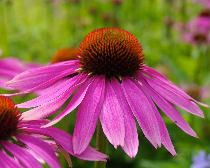 Prozis Foods Echinacea укрепва имунната система.