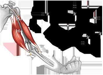 Beta-Alanine Powder от Pure Nutrition увеличава съдържанието на карнозин в мускулите, повишава мускулната енергия и премахва мускулните болки